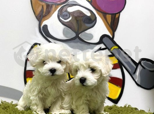Export girişli ırk ve sağlık garantili Maltese terrier yavrular