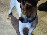Jack Russell Terrier Mersin