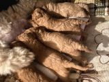 Toy Poodle Yavrularımız Rezerve Açık