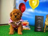 En Güzelinden Dişi Toy Poodle