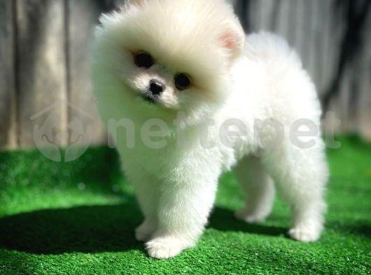 Bembeyaz Güleryüzlü Pomeranian Boo yavrumuz