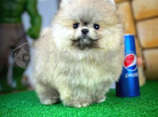 Pomeranian Boo Eğlencesi Neşesi