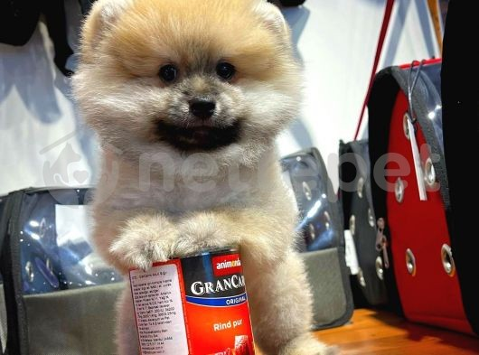 Sağlıklı Orjinal Pomeranian Boo yavrumuz