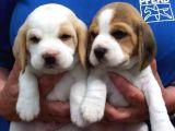 Orjinal ırk ve sağlık garantili Beagle yavrular