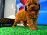 Toy Poodle 2 aylık erkek Çok oyuncu ve tatlı