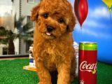 Muhteşem tüy yapısına sahip Toy Poodle