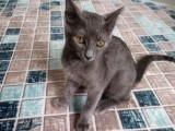 Mavi Rus kedisi acil satılık