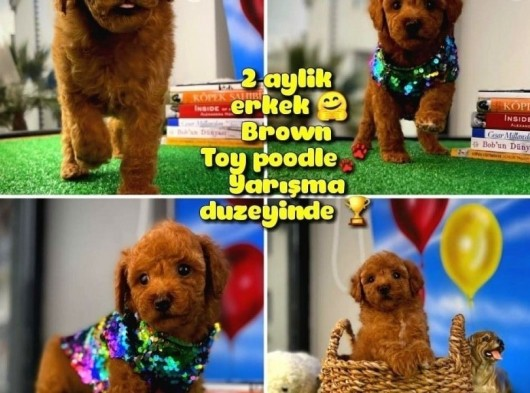 Orjinal renk Red Brown Safkan Toy poodle oğlumuz Pody