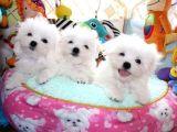 Teacup Secereli Korean Maltese Terrier Yavrular