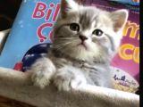 Lilac Tabby erkek yavrumuz