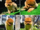 Muhteşem Renkte Pomeranian Boo yavrumuz