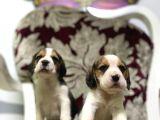 Beagle Yavrularimiz Irk Ve Saglik Garantili Aşili Karneli