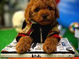 Hiç Tüy dökmeyen Toy Poodle yavru