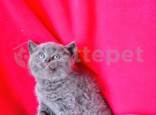 topaç kafa british shorthair yavrularımız