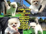 Ödül adayı Safkan Boo Pomeranian oğlumuz BonJo @yavrupatiler