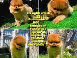 Soykan Ayı surat Teddybear Boo Pomeranian oğlumuz Eddy @yavrupatiler