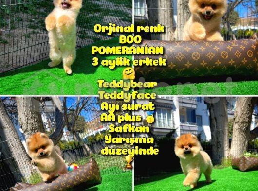 Ödül adayı Safkan Boo Pomeranian Oğlumuz Buddy @yavrupatiler