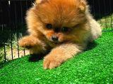 Mini boy Pomeranian Boo yavrumuz
