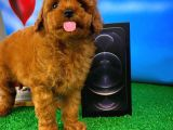Toy Poodle Sevgisi