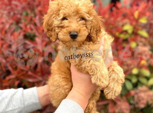Dark(koyu) kayısı apricot toy poodle erkek yavru @catboyssss da
