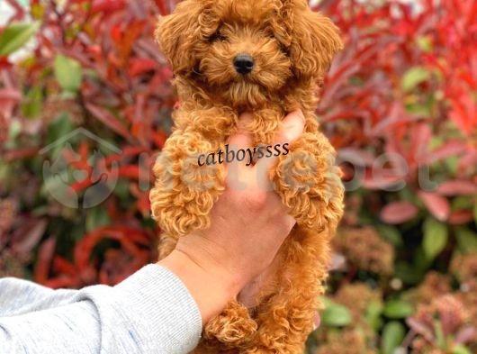 Sevimli red toy poodle erkek yavrumuz @catboyssss da