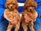 Dişi ve erkek red brown toy poodle yavrular @catboyssss da