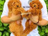 Dark apricot ve red toy poodle erkek yavrular @catboyssss da