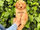 Koyu kayısı(dark) apricot toy poodle erkek yavru @catboyssss da