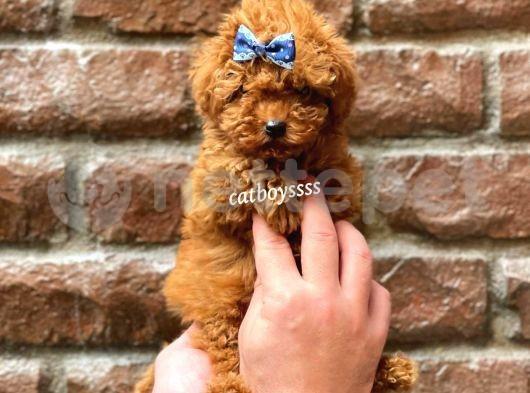 Mini red brown toy poodle erkek yavrumuz @catboyssss da