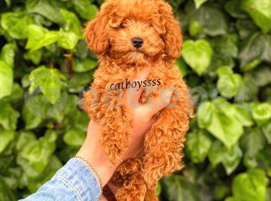 Red toy poodle erkek yavrumuz @catboyssss da