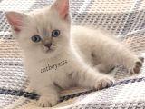British shorthair lynx point dişi yavrular @catboyssss da