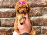 Mini red brown toy poodle dişi yavrumuz @catboyssss da