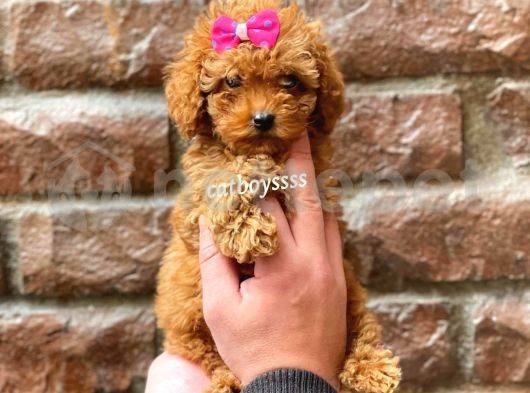 Mini red brown toy poodle dişi yavrumuz @catboyssss da