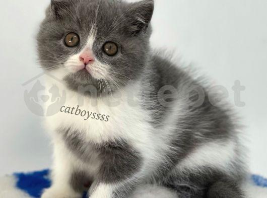 Muhteşem bi color british shorthair yavru @catboyssss da