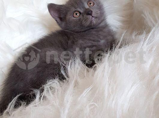 Sevimli blue british shorthair