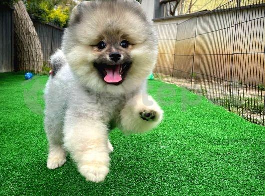 Muhteşem yüz yapısına sahip Pomeranian Boo yavrumuz