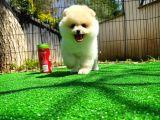 Secereli 2 aylık dişi Pomeranian Boo yavrumuz