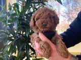 Bebek suratlı toy poodle yavrularımız