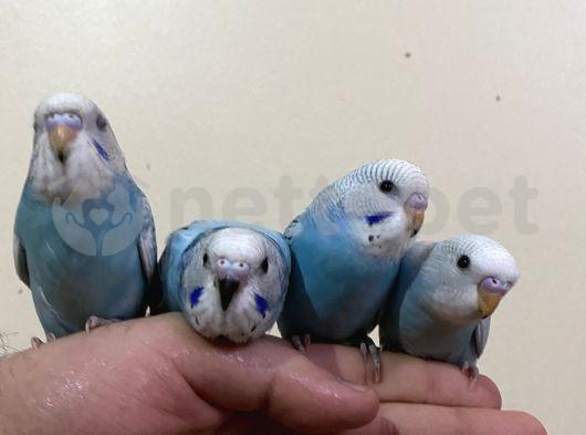 Muhabbet kuş yavruları