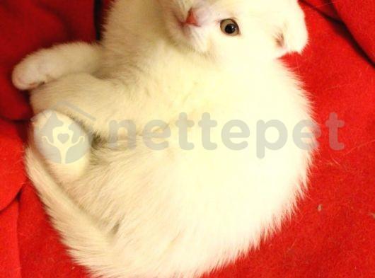 Kendi kedimin altından sağlıklı tatlı scotish yavrumuz