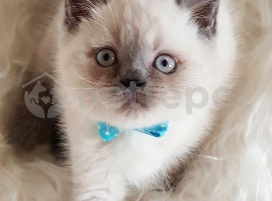Veteriner teknikerinden blue point british shorthair yavrumuz