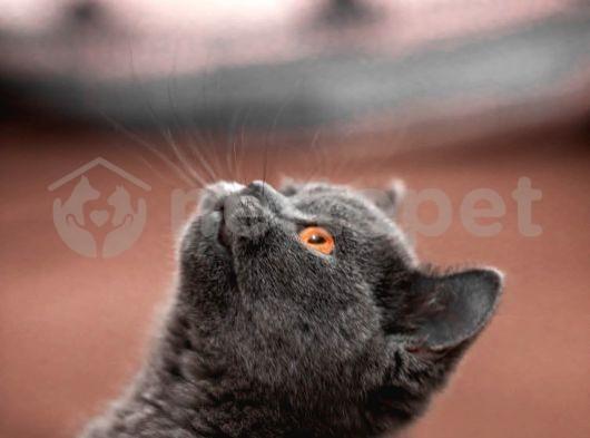 3 aylık dişi britsh shorthair