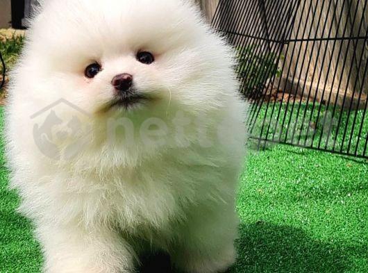 En Güzelinden Bembeyaz Pomeranian Boo yavrumuz