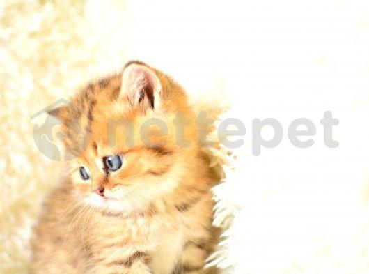 golden tabby british shorthair erkek full secereli yavrumuz