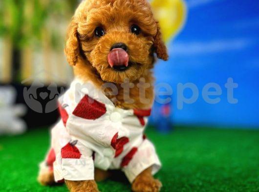 Baby face mini boy toy poodle yavrularımız