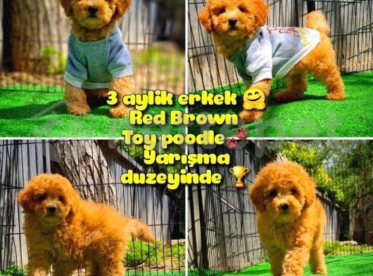 Safkan Red Brown Toy poodle oğlumuz Pampa @yavrupatiler