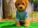 Toy Poodle Oğlumuz ALEX