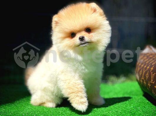 Karneli Pasaportlu Sağlık garantili Pomeranian Boo yavrumuz