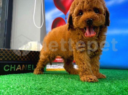 Zeki Enerjik Oyuncu Toy Poodle yavrumuz