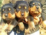 Irk Ve Sağlık Garantili Rottweiler Yavrular